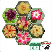 Semente De Rosa Do Deserto, Adenium Obesum, Petala Dobrada, 10 sementes
