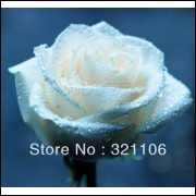 50 Sementes De Rosas Brancas - Rosa Rara - Frete Grátis