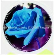 50 Sementes De Rosas Azuis - Rosa Rara - Frete Grátis