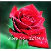 50 Sementes De Rosas Vermelhas - Rosa Rara - Frete Grátis