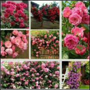 20 Sementes De Rosas Chinesas - Frete Grátis