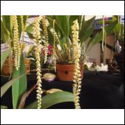 Orquidea Dendrochilum Cobbianum 3 Bulbos Adulta