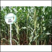 Silagem Agora Tem Marca: Semente Milho BM 3061! Com 60.000 sementes